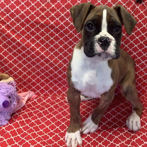 Boxer puppy for sale at canine corral located at 1845 New York Ave Huntington Station, NY 17746