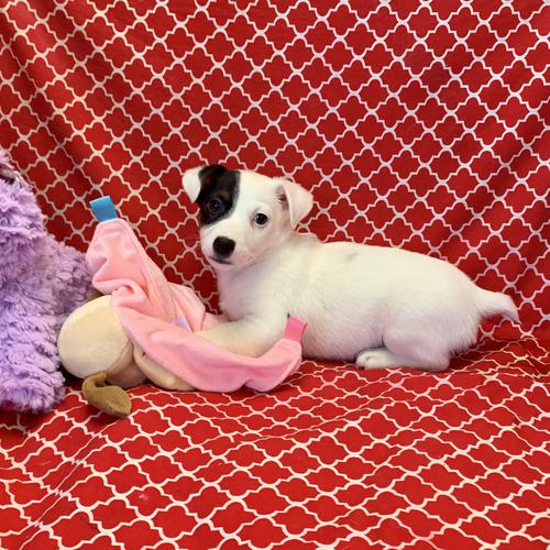 Jack Russell Terrier puppy for sale at canine corral located at 1845 New York Ave Huntington Station, NY 17746
