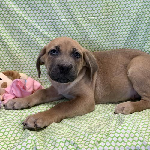 Cane Corso puppy for sale at canine corral located at 1845 New York Ave Huntington Station, NY 17746