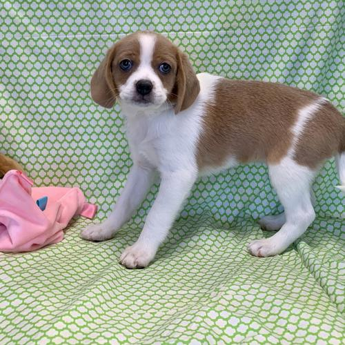 Peagle puppy for sale at canine corral located at 1845 New York Ave Huntington Station, NY 17746