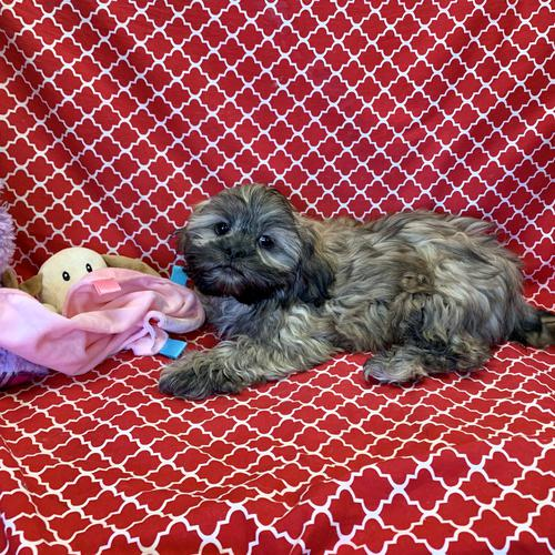 Shih Tzu puppy for sale at canine corral located at 1845 New York Ave Huntington Station, NY 17746