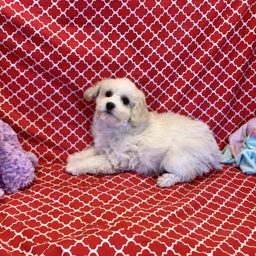 Poodle puppy for sale at canine corral located at 1845 New York Ave Huntington Station, NY 17746