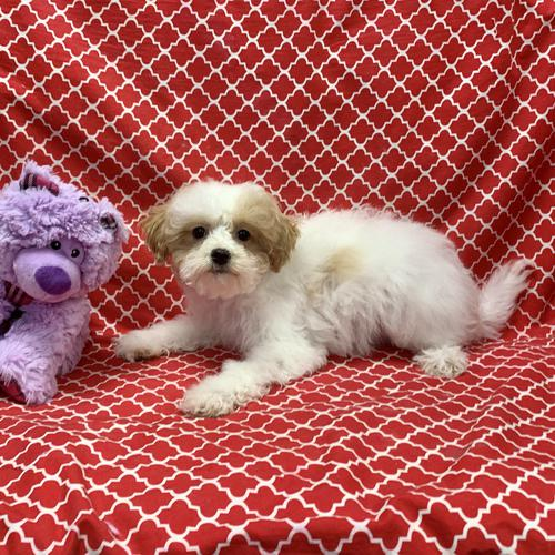 Maltipoo puppy for sale at canine corral located at 1845 New York Ave Huntington Station, NY 17746