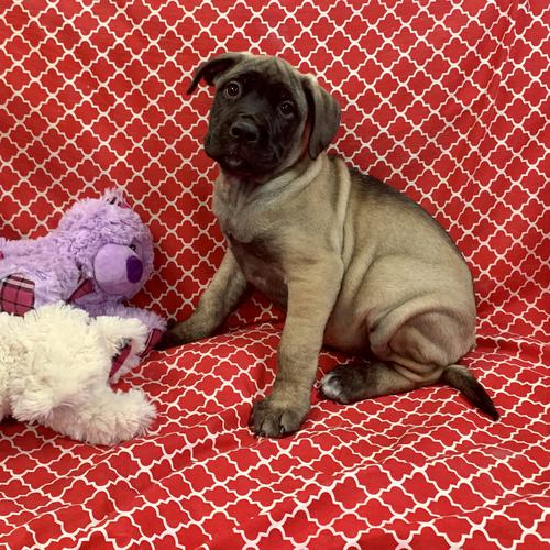 Bullmastiff puppy for sale at canine corral located at 1845 New York Ave Huntington Station, NY 17746