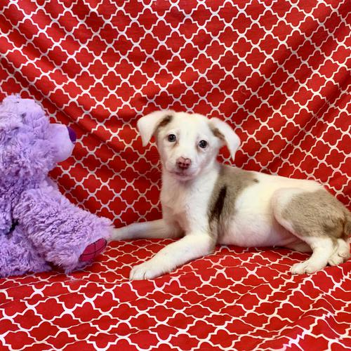 Texas Heeler puppy for sale at canine corral located at 1845 New York Ave Huntington Station, NY 17746