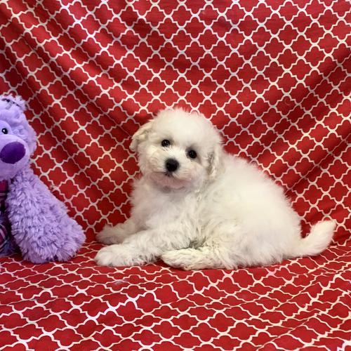 Bichon Frise puppy for sale at canine corral located at 1845 New York Ave Huntington Station, NY 17746