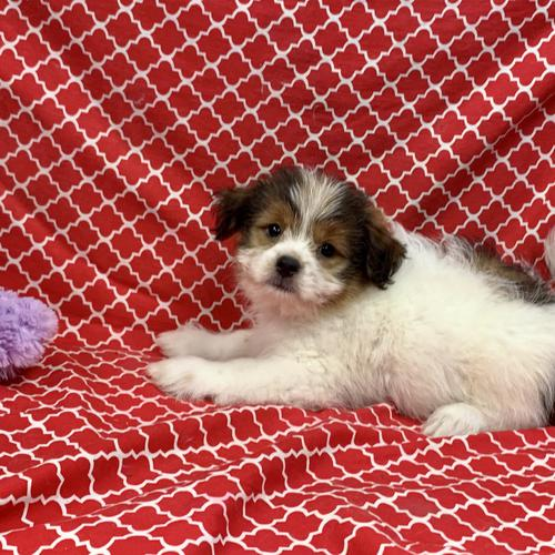 Pom Shih puppy for sale at canine corral located at 1845 New York Ave Huntington Station, NY 17746