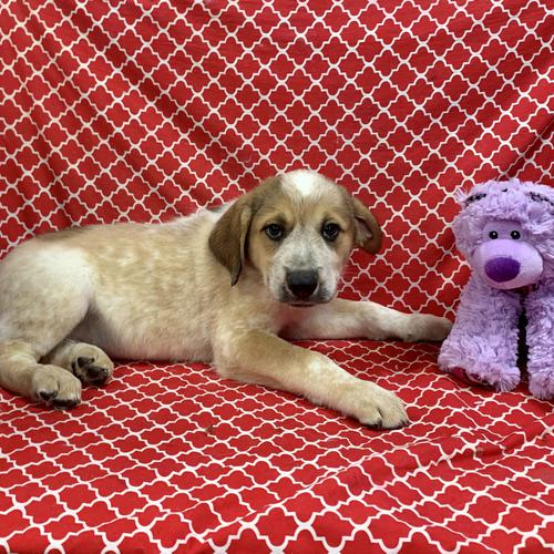 Heeler X puppy for sale at canine corral located at 1845 New York Ave Huntington Station, NY 17746