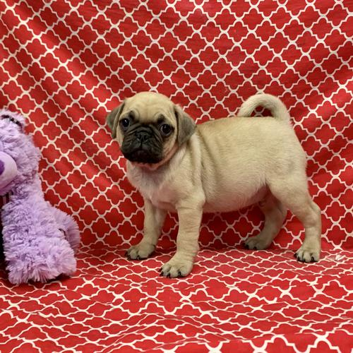 Chug puppy for sale at canine corral located at 1845 New York Ave Huntington Station, NY 17746