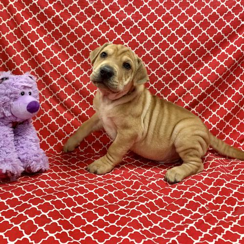 SharpEagle puppy for sale at canine corral located at 1845 New York Ave Huntington Station, NY 17746