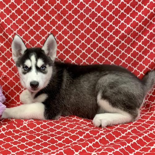 Siberian Husky puppy for sale at canine corral located at 1845 New York Ave Huntington Station, NY 17746