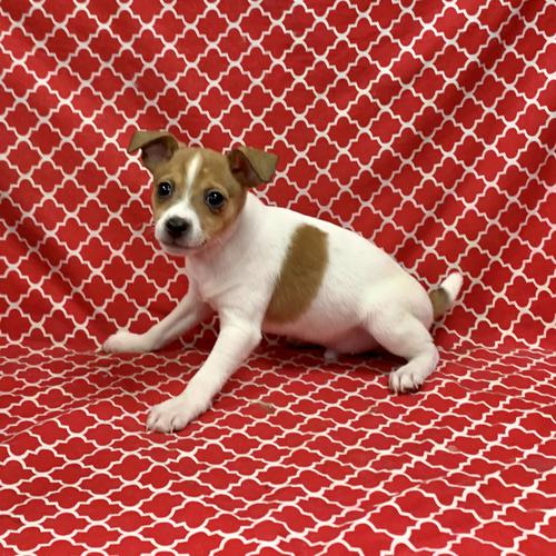 Rat Terrier puppy for sale at canine corral located at 1845 New York Ave Huntington Station, NY 17746