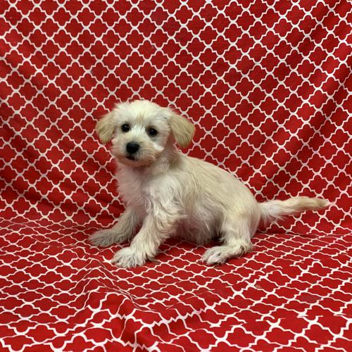 Yorkiepoo puppy for sale at canine corral located at 1845 New York Ave Huntington Station, NY 17746
