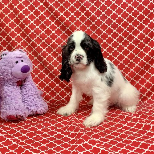 Cocker Spaniel puppy for sale at canine corral located at 1845 New York Ave Huntington Station, NY 17746
