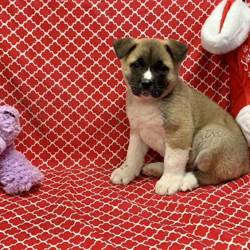Akita puppy for sale at canine corral located at 1845 New York Ave Huntington Station, NY 17746