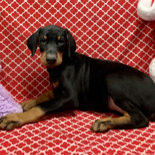 Doberman Pinscher puppy for sale at canine corral located at 1845 New York Ave Huntington Station, NY 17746