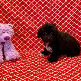 Aussiepoo puppy for sale at canine corral located at 1845 New York Ave Huntington Station, NY 17746