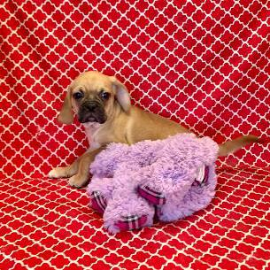 Puggle puppy for sale at canine corral located at 1845 New York Ave Huntington Station, NY 17746