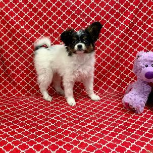 Papillon puppy for sale at canine corral located at 1845 New York Ave Huntington Station, NY 17746