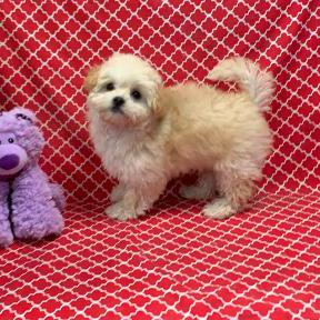 CotonPoo puppy for sale at canine corral located at 1845 New York Ave Huntington Station, NY 17746