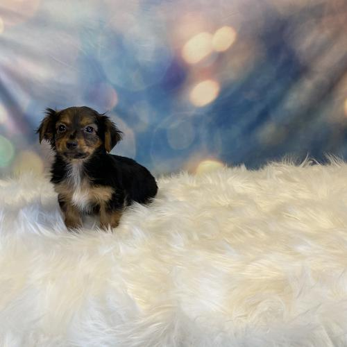 Dorkie puppy for sale at canine corral located at 1845 New York Ave Huntington Station, NY 17746