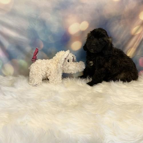 Cockapoo puppy for sale at canine corral located at 1845 New York Ave Huntington Station, NY 17746