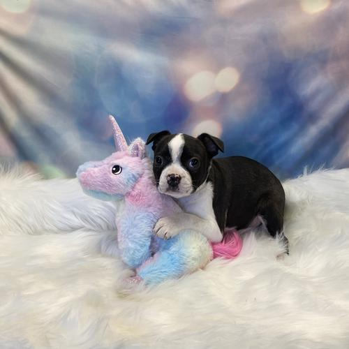 Boston Terrier puppy for sale at canine corral located at 1845 New York Ave Huntington Station, NY 17746