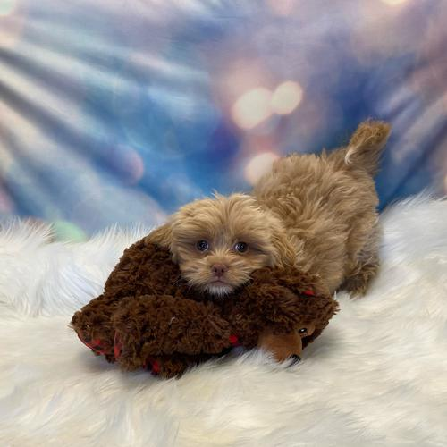 Pekeapoo puppy for sale at canine corral located at 1845 New York Ave Huntington Station, NY 17746