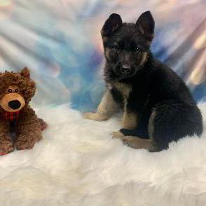 German Shepherd Dog puppy for sale at canine corral located at 1845 New York Ave Huntington Station, NY 17746