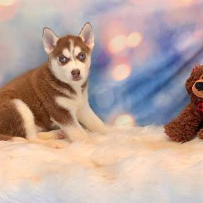 Mini Husky puppy for sale at canine corral located at 1845 New York Ave Huntington Station, NY 17746