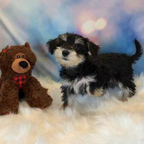 Schnoodle puppy for sale at canine corral located at 1845 New York Ave Huntington Station, NY 17746