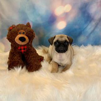 Pug puppy for sale at canine corral located at 1845 New York Ave Huntington Station, NY 17746