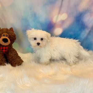 Maltese puppy for sale at canine corral located at 1845 New York Ave Huntington Station, NY 17746