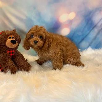 Cavapoo puppy for sale at canine corral located at 1845 New York Ave Huntington Station, NY 17746