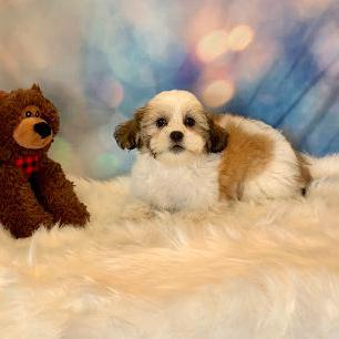 Coton Tzu puppy for sale at canine corral located at 1845 New York Ave Huntington Station, NY 17746