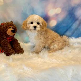 Havapoo puppy for sale at canine corral located at 1845 New York Ave Huntington Station, NY 17746