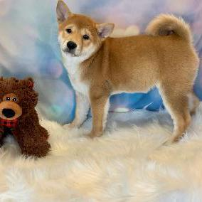 Shiba Inu puppy for sale at canine corral located at 1845 New York Ave Huntington Station, NY 17746