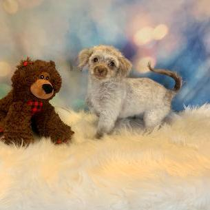Pomapoo puppy for sale at canine corral located at 1845 New York Ave Huntington Station, NY 17746
