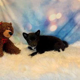 Eskinu puppy for sale at canine corral located at 1845 New York Ave Huntington Station, NY 17746
